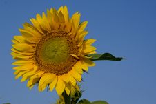 Free Sunflower In Blue Stock Photos - 1057483