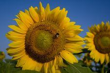 Free Sunflowers Stock Image - 1057491
