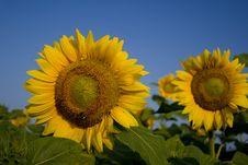 Free Field Of Sunflowers Stock Photos - 1057493