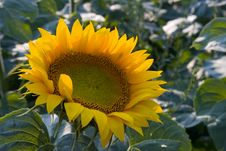 Free Sunflower On Field Stock Photography - 1057512
