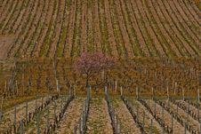 Free Vine Royalty Free Stock Image - 1057616