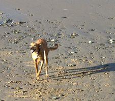 Free Dog On Beach Royalty Free Stock Image - 1058206