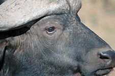 Buffalo Portrait. Stock Image