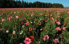 Free Poppy Field2 Royalty Free Stock Photo - 1059905