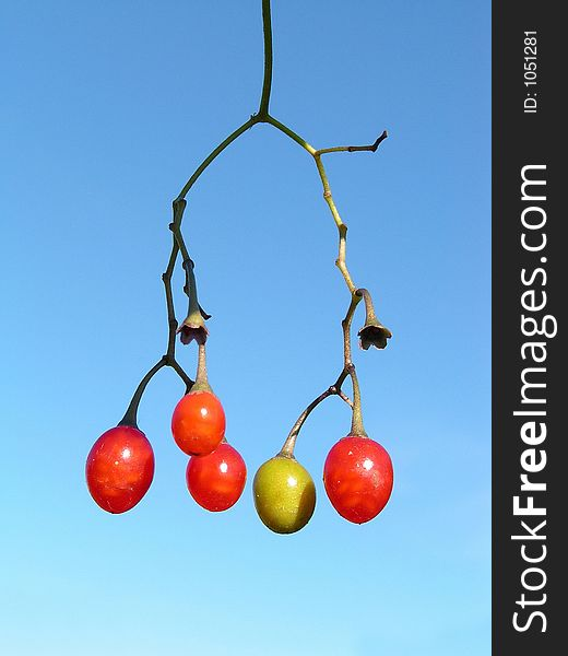 Berries of a river liane.