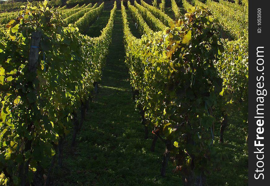 Alsacian vineyards