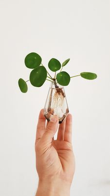 Free Pilea Oh My Pilea Royalty Free Stock Images - 105034109