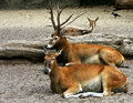 Free Deers Resting Royalty Free Stock Photography - 10515477