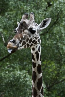 Free Giraffe Poking His Tongue Out Royalty Free Stock Photography - 10515467
