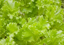 Lettuce Salad Royalty Free Stock Photos