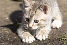 Tabby Kitten Play Outside Royalty Free Stock Images