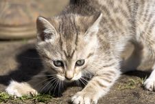 Tabby Kitten Play Outside Royalty Free Stock Image