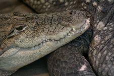 Free Crocodile Skin Stock Image - 10578991