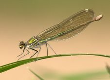 Free Damselfly, Insect, Dragonfly, Dragonflies And Damseflies Royalty Free Stock Images - 105888299