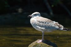 Free Sea Gull Royalty Free Stock Photography - 1060687