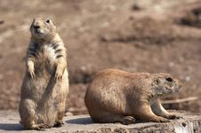 Free Black Tailed Prairie Marmot Royalty Free Stock Photos - 1060708