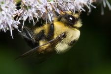 Free Bumble Bee Royalty Free Stock Image - 1060806