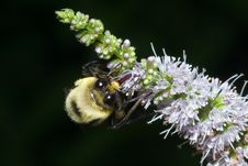 Free Bee Gathering Nectar Royalty Free Stock Images - 1060829