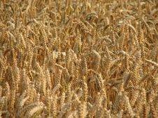 Free Wheat Royalty Free Stock Photography - 1060907