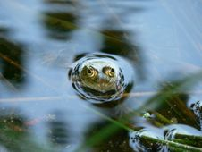 Free Frog In The Water Stock Images - 1061384