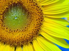 Free Sunflower Royalty Free Stock Images - 1062919