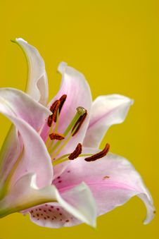 Free Lily On Yellow Royalty Free Stock Image - 1063666