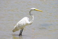 Great Egret 2 Royalty Free Stock Photos