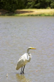 Free Great Egret 1 Stock Images - 1063704