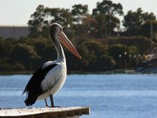 Free Pelican Royalty Free Stock Image - 1063936