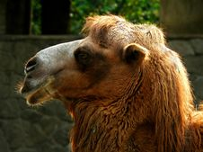 Free Camel Portrait Stock Photography - 1063992