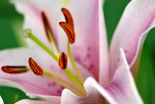 Free Lily Closeup II Royalty Free Stock Image - 1064216