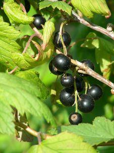 Free Black Currants Stock Image - 1064601