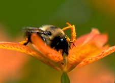 Free The Pollinator Royalty Free Stock Image - 1065366