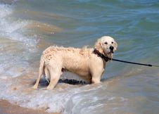 Wet Golden Retriever Or Labrador Dog Playing In The Sea Stock Photo