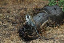 Free Monkey In Tanzania Stock Photo - 1066530