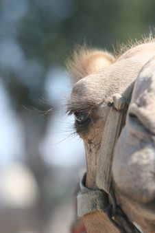 Free Camels EYE Royalty Free Stock Images - 1067629