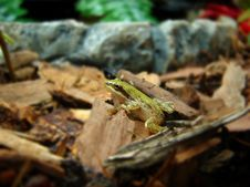 Free Baby Frog Stock Photos - 1068073