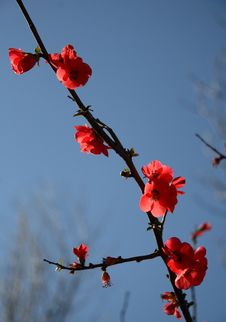 Free Red Blossom In Spring Stock Images - 1068584