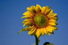 Free Sunflower On Sky Stock Photography - 1068972