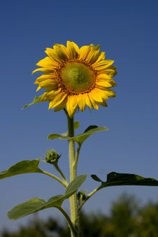 Free Sunflower Royalty Free Stock Photography - 1068977