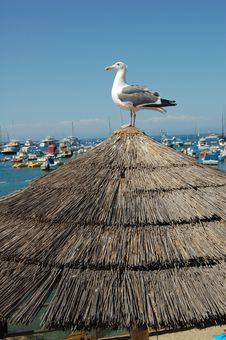 Free Seagull Catalina Island Stock Images - 1068984