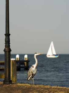 Free Blue Heron Stock Photos - 1069333