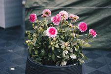 Free Clustered Pink Petal Flower Plant On Black Pot Stock Photo - 106006260