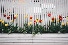 Free Yellow And Red Tulip Flower Plant Beside White Fence Stock Photo - 106006280