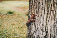 Free Brown Squirrel Holding On Tree Royalty Free Stock Images - 106058539
