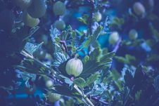 Free Fresh Green Gooseberry Royalty Free Stock Image - 106068286