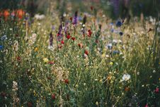Free Blue, White And Red Poppy Flower Field Royalty Free Stock Photos - 106240288