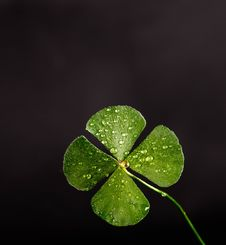 Free Shallow Focus Photography Of Four Leaf Clover Stock Photo - 106364000