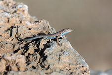 Free Reptile, Lizard, Scaled Reptile, Fauna Royalty Free Stock Image - 106388936