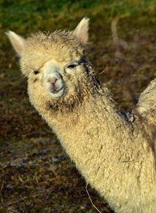 Free Alpaca, Terrestrial Animal, Llama, Camel Like Mammal Stock Images - 106389074
